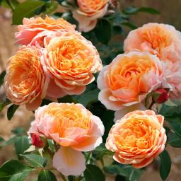 Rose Perfum d'Orleans®, im 3-Liter-Topf