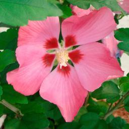 Garten-Hibiskus Woodbridge, im 5-Liter-Topf
