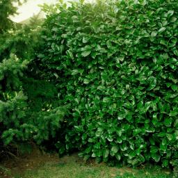 Kirschloorbeer Rotundifolia, 40-60cm