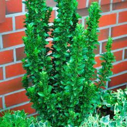 Spindelstrauch Green Spire, im 7,5-Liter-Topf