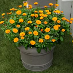 Winterharte Calendula Winter Wonders® Peach Polar, im ca. 10,5 cm-Topf