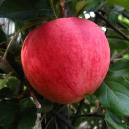 Apfel Elstar, zweijährig