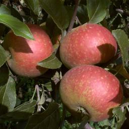 Apfel Ingrid Marie, 2-jährig