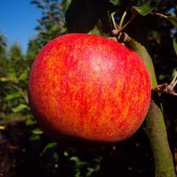 Apfel Alkmene, zweijährig