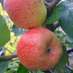 Apfel Ecolette, 2-jährig