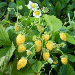 Erdbeerpflanze Goldlady, getopft