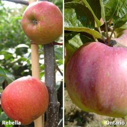 Duo-Apfel Rebella - Ontario, 2-jährig