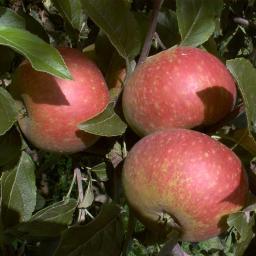 Apfel-Halbstamm Ingrid Marie, 2-jährig