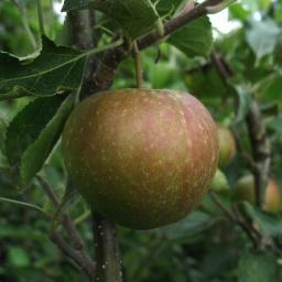 Apfel-Halbstamm Rubinette Rosso®, 2-jährig