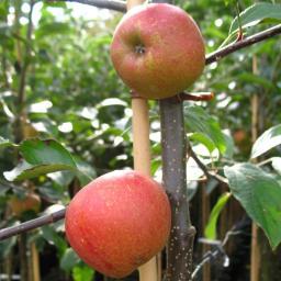 Apfel-Halbstamm Rebella®, 2-jährig