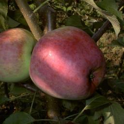 Apfel Liberty, 2-jährig