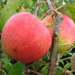Apfel Pinova®, 2-jährig