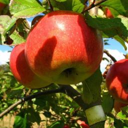 Apfel-Halbstamm James Grieve, 2-jährig