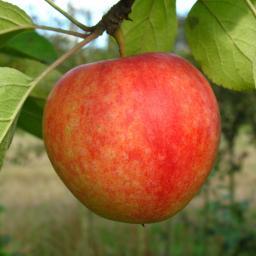 Apfel-Halbstamm Cox Orange, 2-jährig