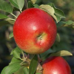 Säulen-Apfel Sonate®, 2-jährig