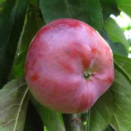 Säulen-Apfel Dzin, 2-jährig
