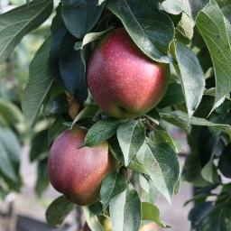 Säulen-Apfel Berbat, 2-jährig