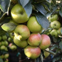 Säulen-Apfel Arbat®, 2-jährig