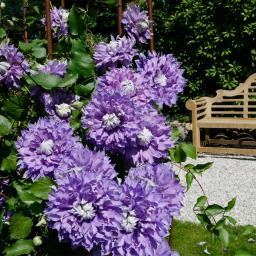 Clematis Diamantina Regal®