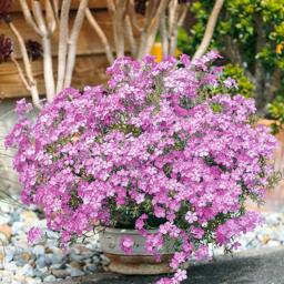 Kissen-Phlox Summerstars Rose XXL