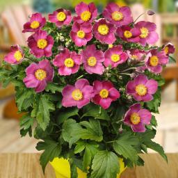 Stauden-Anemone Pretty Lady Susan® XL