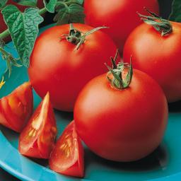 Gemüse-Jungpflanze Tomate Matina
