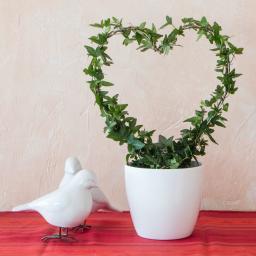 Zimmerefeu Herzform Valentinherz, klein
