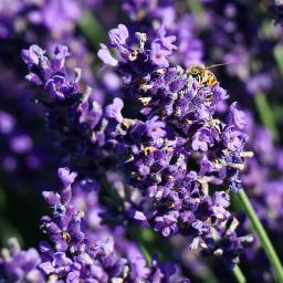 Englischer Lavendel Elizabeth, im ca. 13 cm-Topf