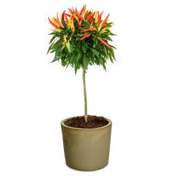 Gemüse-Pflanze Funtastick Paprika-Bäumchen Medusa (veredelt)