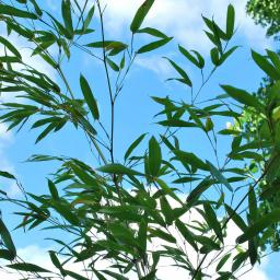 Bambus Bissetii, 80-100cm/7,5L.