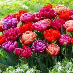 Tulpen-Mischung Dazzling Double