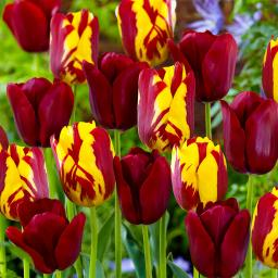 Tulpen-Mischung Perfect Match