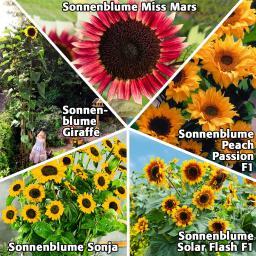 Sonnenblumensamen-Sortiment Zwerge und Riesen