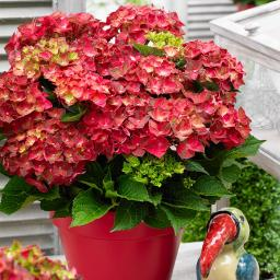 Garten-Hortensie Ruby Tuesday®