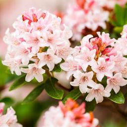 Bloombux®, pink, im ca. 17 cm-Topf