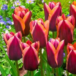Tulpe Slawa