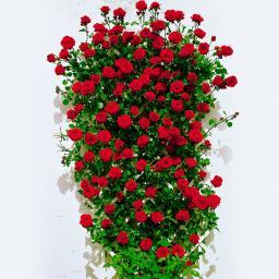 Rose Santana®, im 5-Liter-Topf