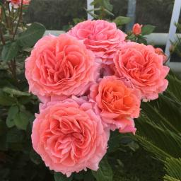 Rose Amour de Molene®