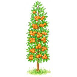 Säulen-Aprikose Orange, 2-jährig
