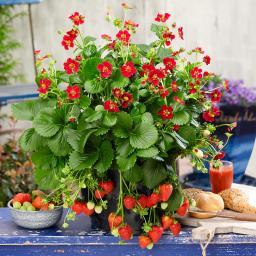 Erdbeerpflanze Ruby Ann