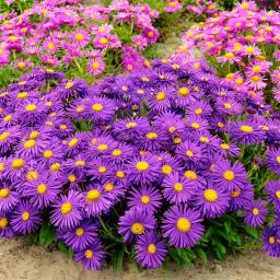Violette Alpen-Aster, im ca. 9 cm-Topf