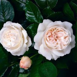 Rose Gärtner Pötschkes Schöne Weiße, im 5-Liter-Topf