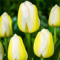 Tulpe Angels Wish