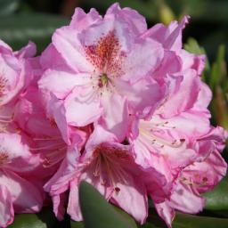 Rhododendron Scintillation, im ca. 17 cm-Topf