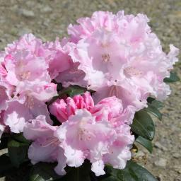 Rhododendron Silberwolke, im ca. 17 cm-Topf