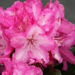 Rhododendron Bluretiia, im 2-Liter-Container