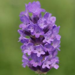 Englischer Lavendel No. 9
