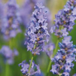 Englischer Lavendel Lullaby Blue, im ca. 13 cm-Topf