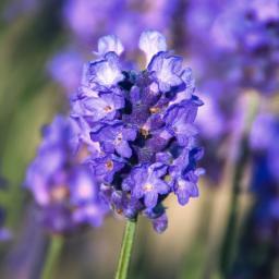 Englischer Lavendel Peter Pan