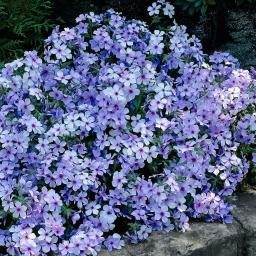 Blauvioletter Waldphlox Chattahoochee,  im ca. 9 cm-Topf